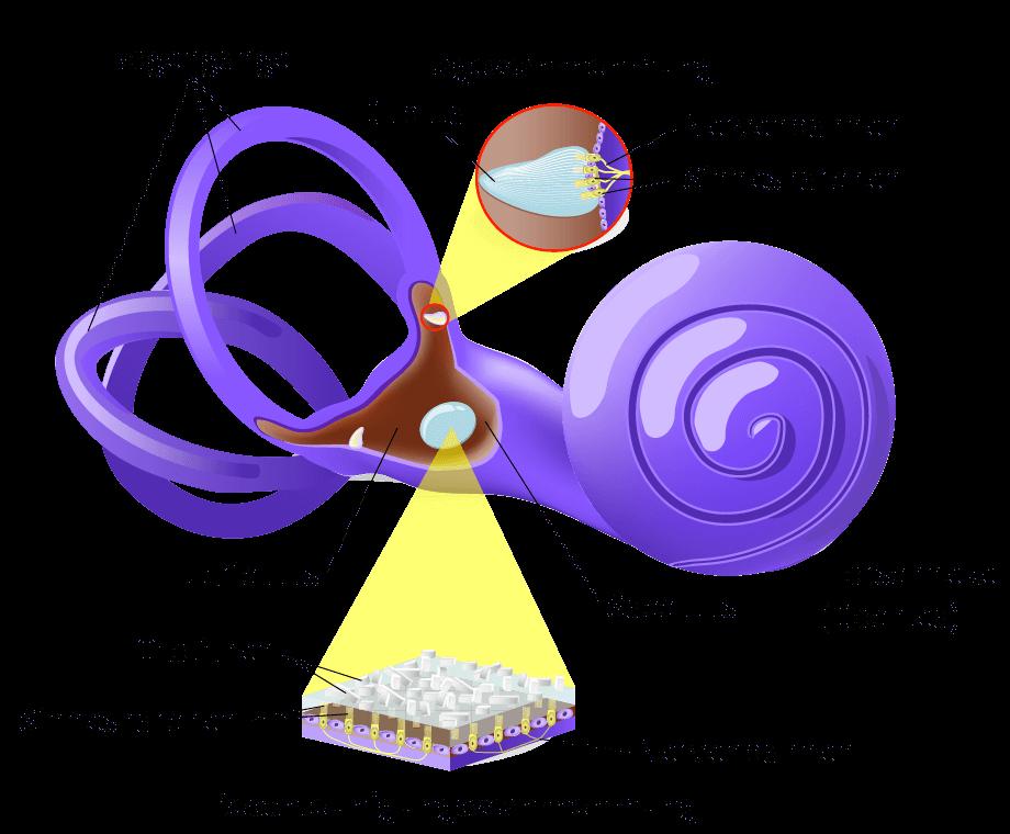Anatomie des Gleichgewichtsorgans